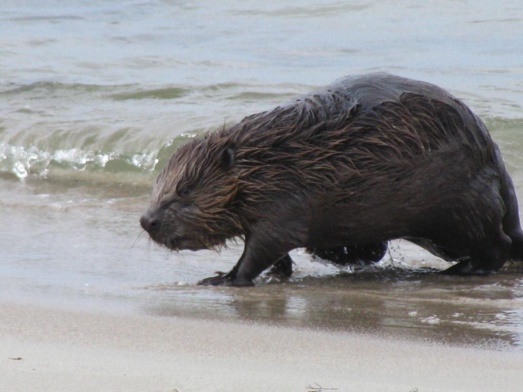 Krynica Morska bóbr na plaży